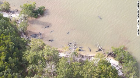 Officials said 81 false killer whales have died in a mass stranding near the Florida Everglades.