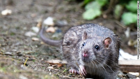 Worldwide, the Seoul virus is carried by wild Norway rats.
