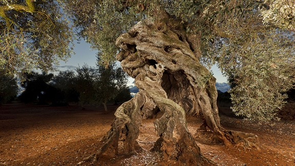 To go with Millenary olive trees story by Miquel Ros