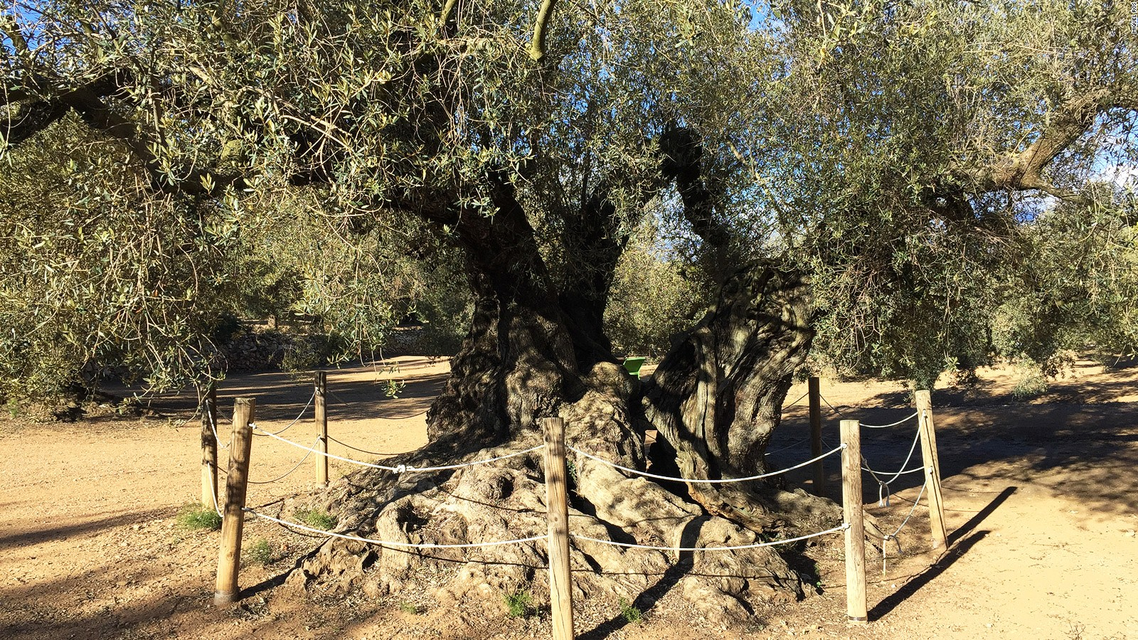 Spain\'s ancient olive trees: New taste for their olive oil | CNN Travel