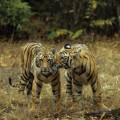 Beautiful India.Bandhavgarh