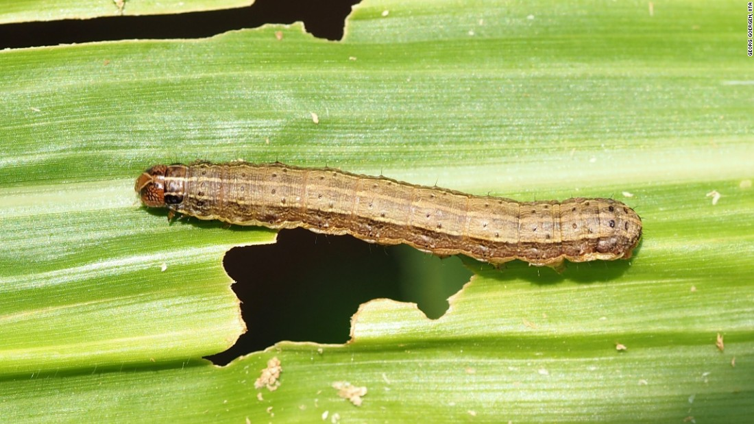 The fall armyworm moth is among the most notorious pests in the Americas and it has recently invaded southern Africa. <br /><br />In its larval stage, the rapacious pest has been compared to the locust for its devastating impact on crops. It also breeds rapidly and is difficult to detect.