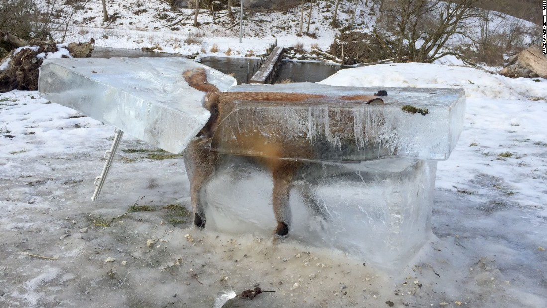 A frozen fox is seen in a block of ice in Fridingen, Germany, on Friday, January 13. The fox fell through thin ice on the Danube River and drowned.