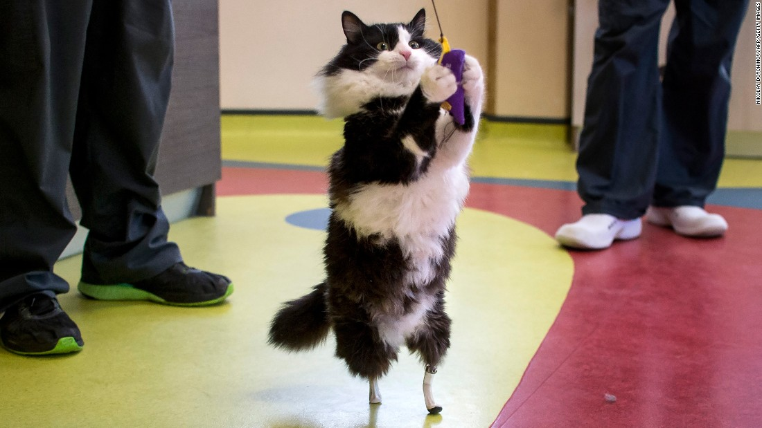 "A cat named Pooh plays with a toy at a vet clinic in Sofia, Bulgaria, on Tuesday, January 31. The 1-year-old cat lost his hind legs in an accident and has been given a set of bionic feet. <a href=""http://www.reuters.com/article/us-bulgaria-bionic-cat-idUSKBN15G4BH?feedType=RSS&feedName=lifestyleMolt"" target=""_blank"">According to Reuters</a>, Vladislav Zlatinov performed the groundbreaking surgery on Pooh, fitting the cat's limbs with two blade-like implants. Zlatinov is the first vet in Europe to successfully apply the pioneering method of Noel Fitzpatrick, a veterinary surgeon in Britain who in 2009 fitted new hind legs on a cat named Oscar."