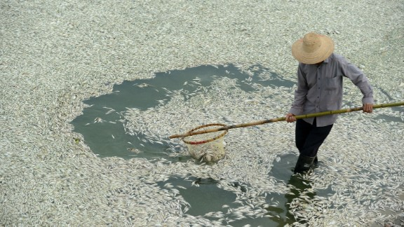 A resident clears dead fish from the Fuhe river in Wuhan in September 2013, after they were killed by high levels of ammonia.