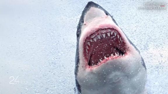 Chris Fallows shark_00003427.jpg