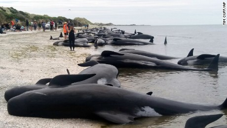 Whales are stranded at Farewell Spit near Nelson, New Zealand Friday, Feb. 10, 2017. New Zealand volunteers formed a human chain in the water at a remote beach on Friday as they tried to save about 100 whales after more than 400 of the creatures beached themselves in one of the worst whale strandings in the nation's history. About three-quarters of the pilot whales were already dead when they were found Friday morning at Farewell Spit at the tip of the South Island. (Tim Cuff/New Zealand Herald via AP)