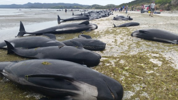 More than 400 pilot whales stranded themselves on a New Zealand beach on the evening of Thursday February 9.