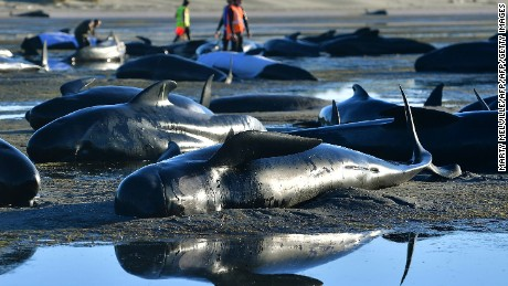 Pilot whales lie on a beach during a mass stranding at Farewell Spit on February 11, 2017.
