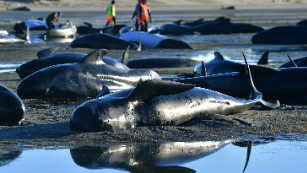 New Zealand: Carcasses of stranded whales punctured to prevent them from exploding