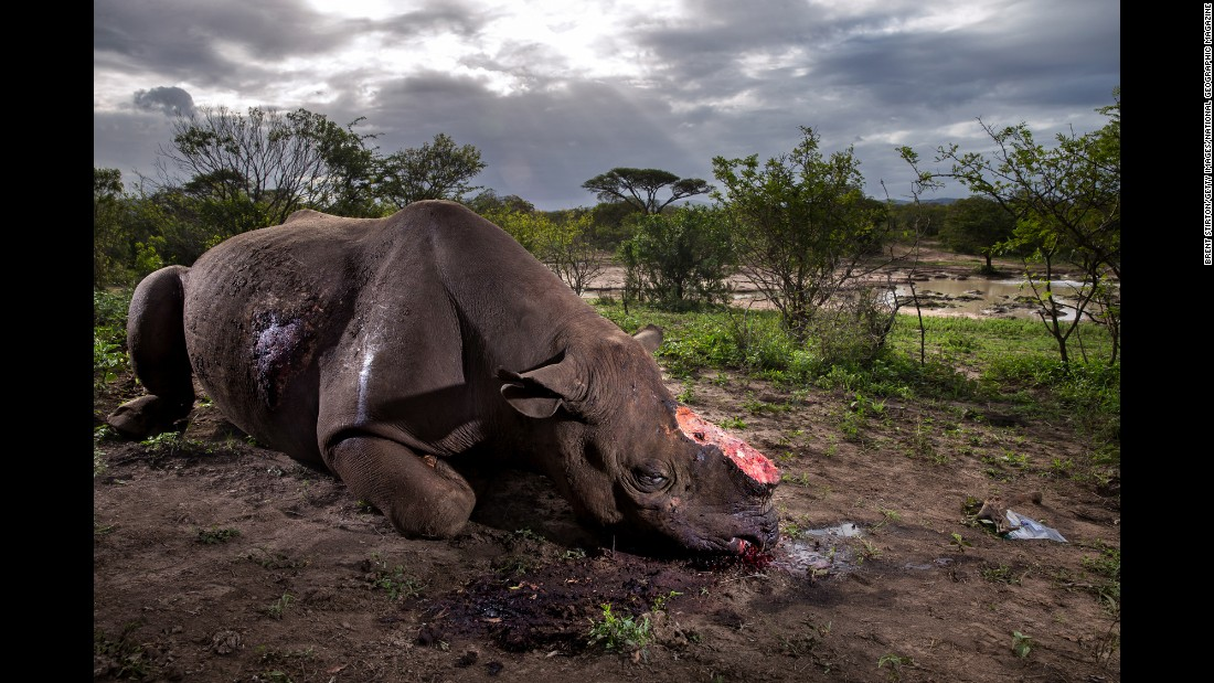A black rhino bull is seen dead, poached for its horns less than eight hours earlier at the Hluhluwe Umfolozi Game Reserve in South Africa. It was suspected that the killers came from a nearby community, entering the park illegally and shooting the rhino with a silenced hunting rifle. The black rhinoceros is  one of the most endangered rhino species.