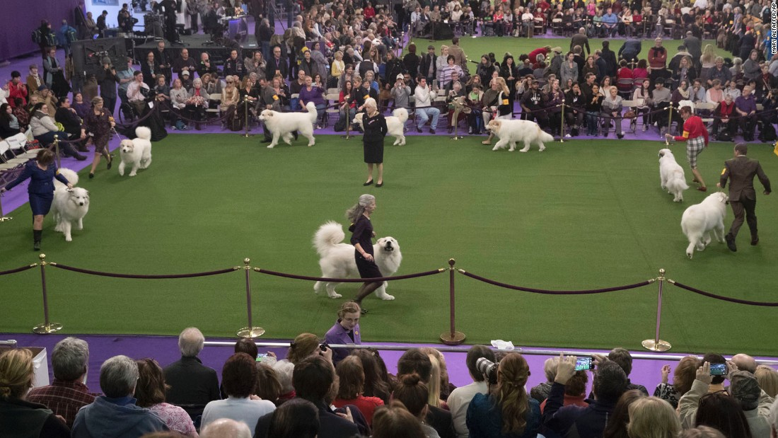 A group of Great Pyrenees compete in the ring. Breeds are categorized into groups, including Sporting, Hound, Working, Terrier, Toy, Non-Sporting and Herding.