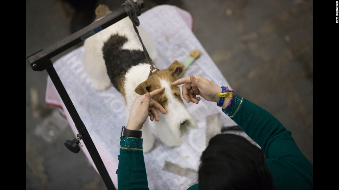 Brittany Phelps grooms a wire hair fox terrier named Dolce before competing on February 14.