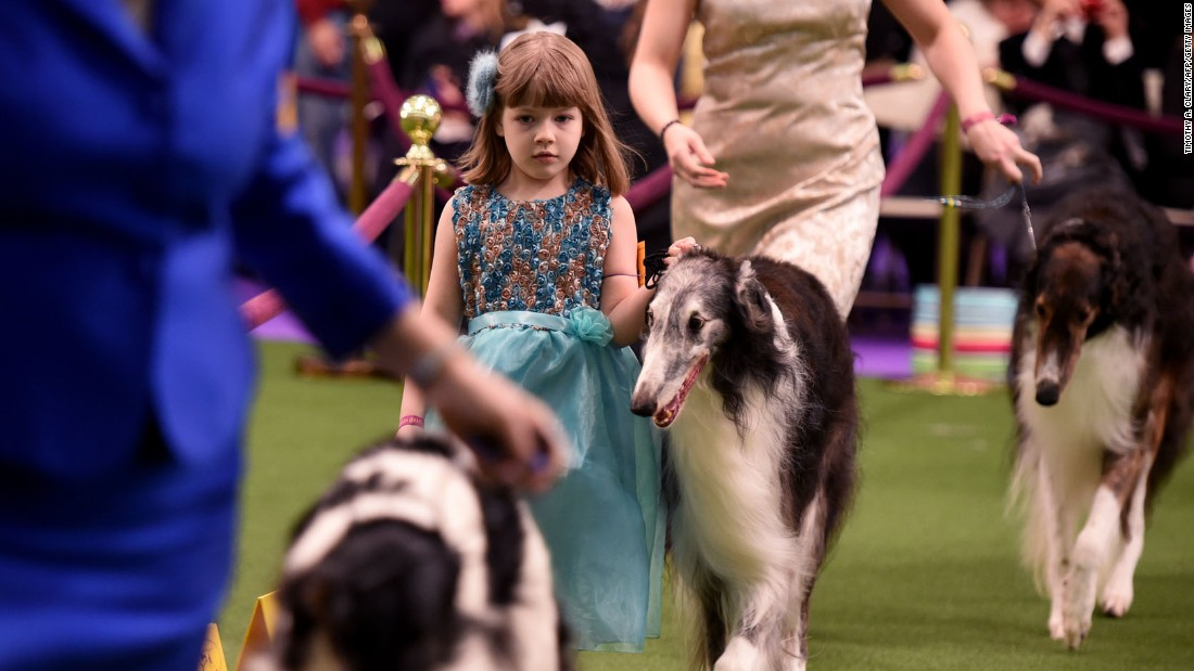 Seven year-old Raina McCloskey, a young handler, walks with her Borzois in the judging area on February 13.