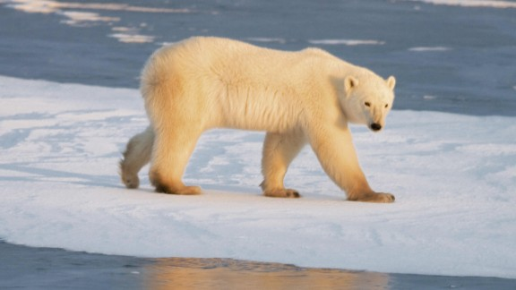 The number of polar bears is expected to decline by 30% by 2050 as global warming causes Arctic ice to melt, says the new WWF report.