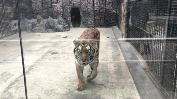 A tiger is seen at a zoo in Pyongyang on February 19. CNN