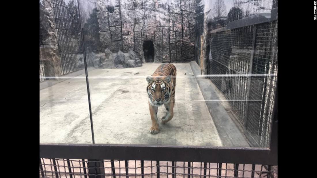 "A tiger is seen at a zoo in Pyongyang on February 19. CNN's Will Ripley, Tim Schwarz and Justin Robertson were the only Western broadcasters reporting from North Korea after it conducted a ballistic missile test on February 12. <a href=""http://www.cnn.com/2017/02/15/asia/north-korea-photos-video/"" target=""_blank"">See their dispatches</a>."