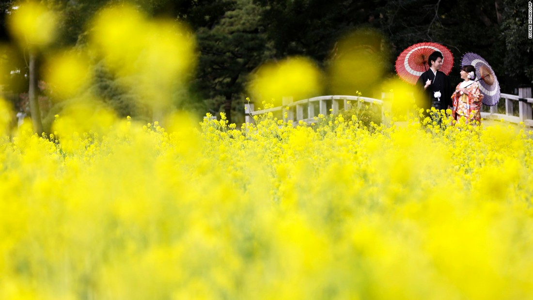 <strong>Tokyo:</strong> A bride and groom pose in traditional dress by a rapeseed oil field in Hamarikyu Garden in February. The flowers are expected to remain in bloom until the end of March.