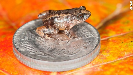 The Thumbelinas of the frog world took five years to discover. This is the Robinmoore's Night Frog (Nyctibatrachus robinmoorei) sitting on an Indian five rupee coin.