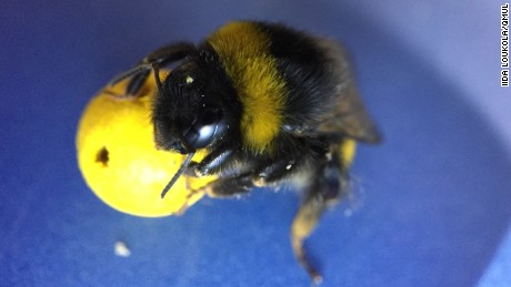 Bees learn 'soccer' in new study