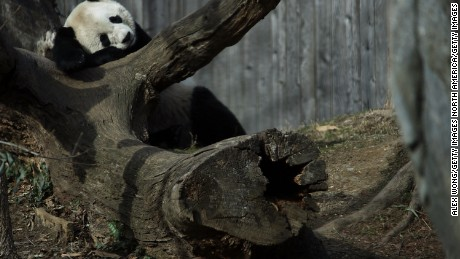WASHINGTON, DC - FEBRUARY 21:  Giant panda Bao Bao naps in her outdoor habitat at the Smithsonian's National Zoo February 21, 2017 in Washington, DC. Bao Bao is departing for Chengdu, China this morning, as part of a cooperative breeding program between the National Zoo and the China Wildlife Conservation Association (CWCA). All cubs that were born in the zoo will be transferred to China when they turn four years old. Bao Bao will turn four on August 23, 2017.  (Photo by Alex Wong/Getty Images)