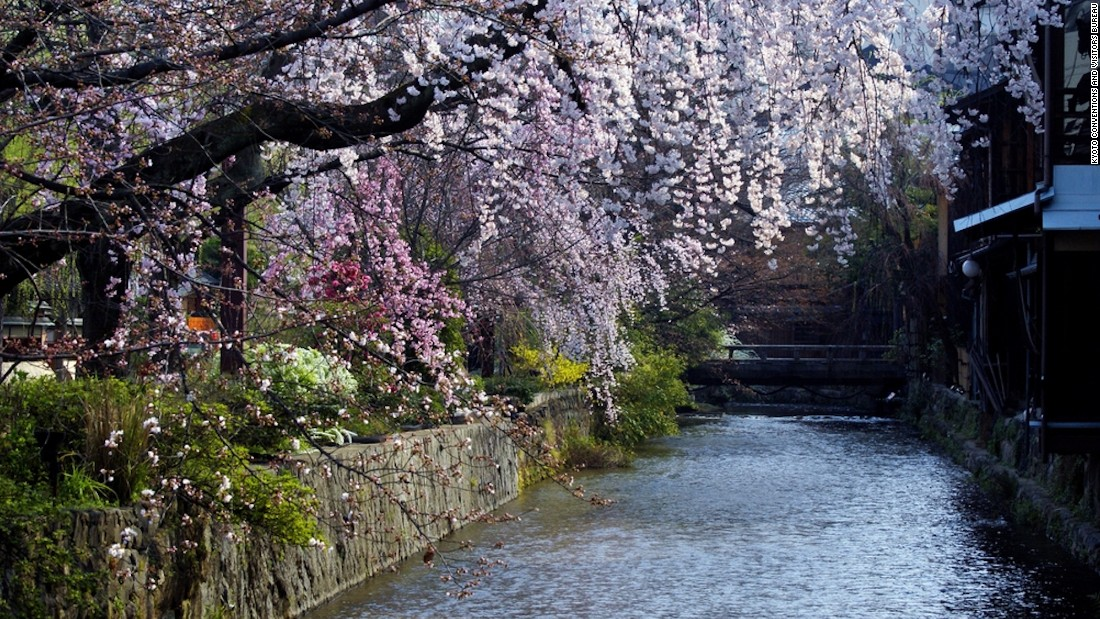 Your guide to cherry blossoms