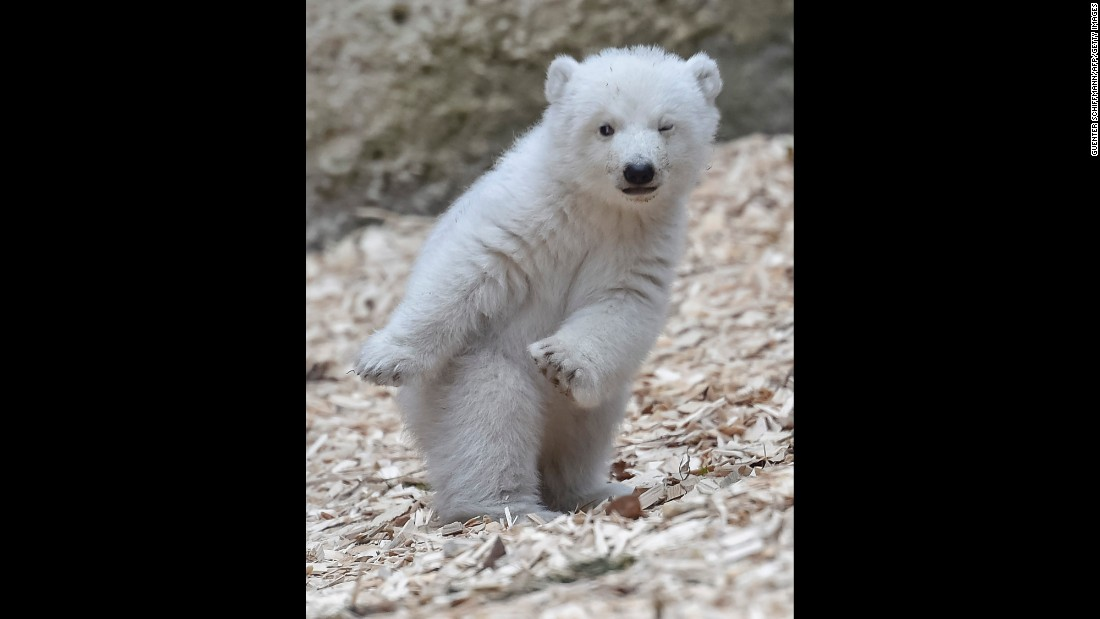 A 14-week-old polar bear is seen at a zoo in Munich, Germany, on Friday, February 24.