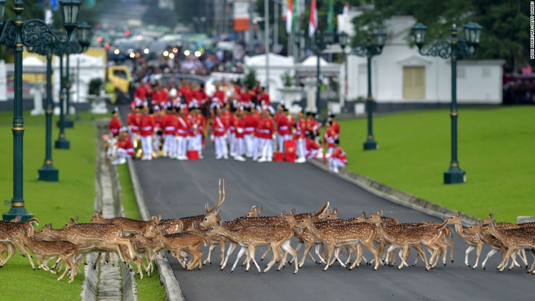 Deer walk past an Indonesian honor guard as it waits for the arrival of Saudi Arabia's king Wednesday, March 1, in Bogor, Indonesia.