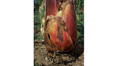 The ensete plant is native to tropical regions of Africa and Asia and an important food crop in Ethiopia