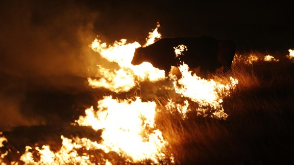 A cow grazes by a wildfire near Protection, Kansas, early Tuesday.