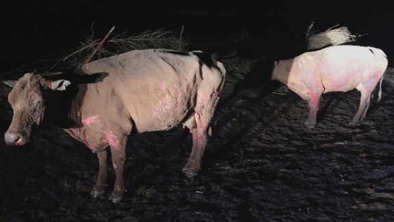 A pair of badly burned cows stand along a rural road near Ashland, Kansas, early Tuesday.