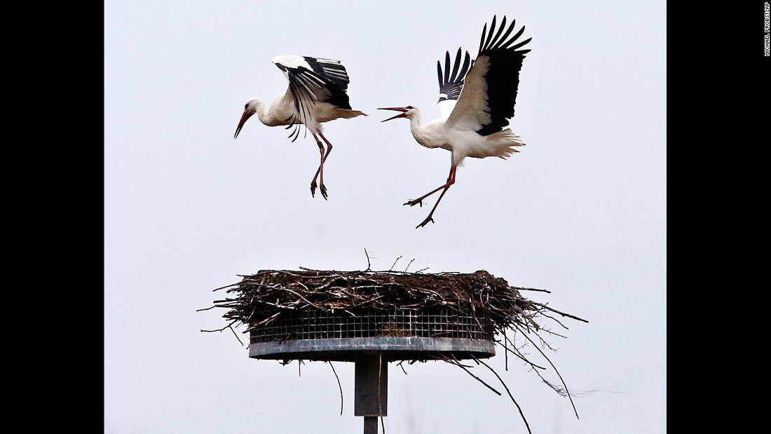 A stork chases another from a nest in Biebesheim, Germany, on Monday, March 6.