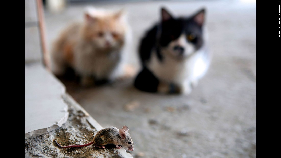 Two cats watch a mouse in Kuwait City on Wednesday, March 8.