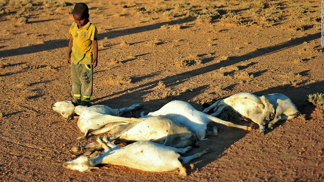 A boy looks at a flock of dead goats in a dry land close to Dhahar in Puntland, northeastern Somalia. Drought in the region has severely affected livestock for local herdsmen.
