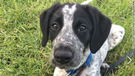 10-month-old bearded collie/German short haired pointer cross Grizz who was shot dead at Auckland Airport on Friday morning.