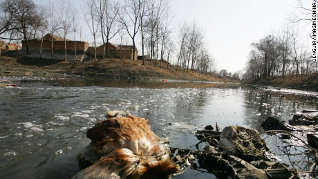 A dead chicken floats in the severely polluted waters near Wanggou Village, upstream from Dawu Village on the Ying River.