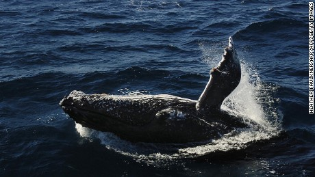 Morteton Island, AUSTRALIA: An adult humpback whale breaches in the shallows off of Morteton Island in Queensland, 07 July 2005. Japan risks trashing its reputation in Australia if it includes endangered humpbacks in its annual whale cull, Environment Minister Malcolm Turnbull said 01 June 2007. Turnbull and his anti-whaling allies successfully fought off a Japanese push to lift a moratorium on commercial whaling at an International Whaling Commission (IWC) meeting in Alaska overnight.   AFP PHOTO/Heather Faulkner (Photo credit should read Heather Faulkner/AFP/Getty Images)