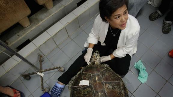 "Nantarika Chansue, head of  Chulalongkorn University's aquatic animal research center, with ""Piggy Bank"""