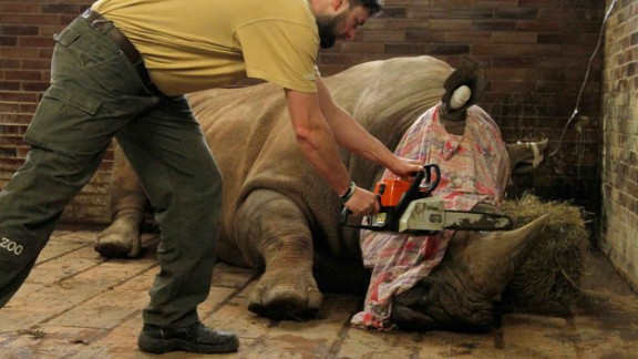 Pamir had his horn removed. The surgery carries some risk but does not hurt, zoo officials said.