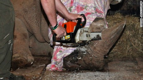 In this picture publicly provided by the zoo Dvur Kralove and taken on Monday, March 20, 2017, in Dvur Kralove, a zoo keeper removes  a horn of  Pamir, a southern white rhino, as one of the safety measures to reduce the risk of any potential poaching attack. The zoo's decision follows the incident in the French Zoo Thoiry, where one of the white rhinos was killed by poachers for its horn in the beginning of March. (Simona Jirickova/Zoo Dvur Kralove via AP)