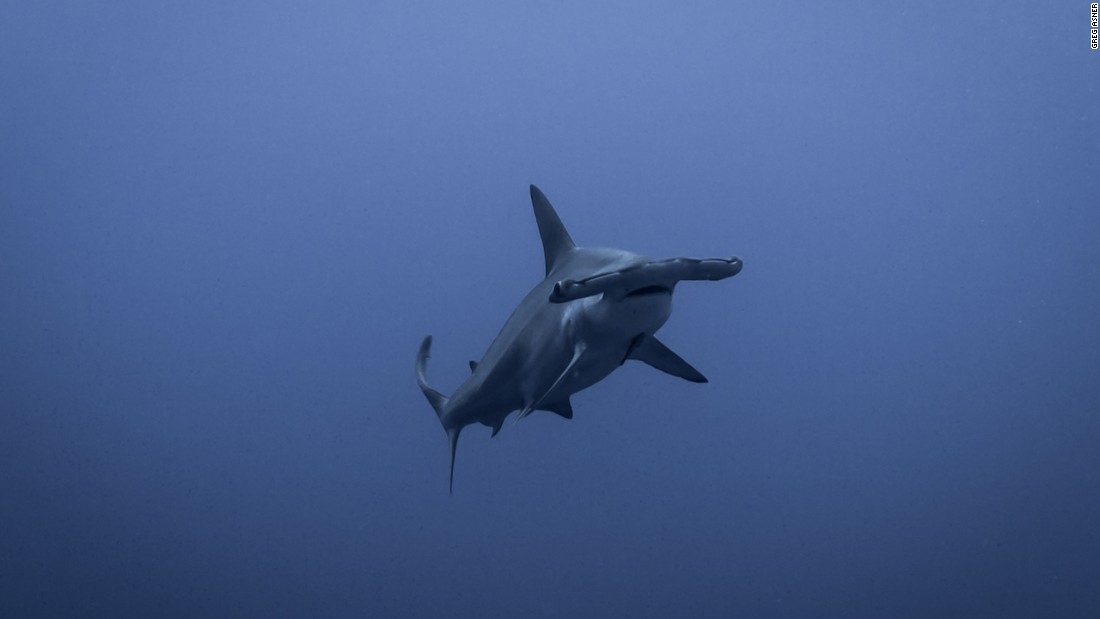 In 2016, researcher Greg Asner ventured into the Spratlys to better understand the ecological cost of the land reclamation. A scalloped hammerhead shark is pictured here near Swallow Reef.