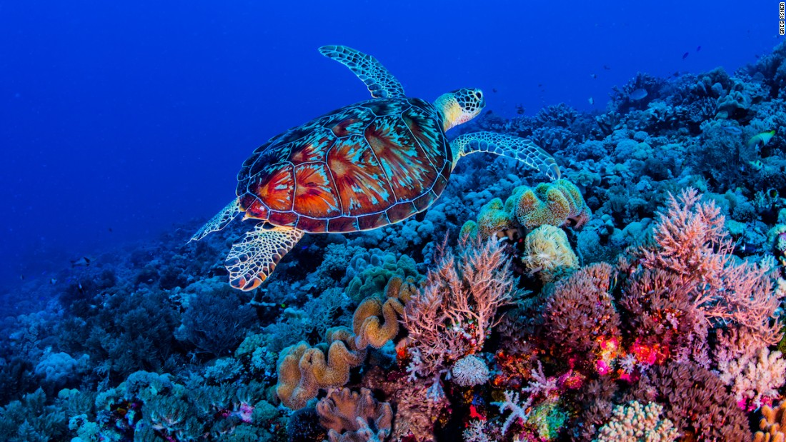 The Spratly Islands are an archipelago of atolls and reefs that support 600 coral species and 6,000 fish species -- but they are under threat from large-scale land reclamation in the contested waters of the South China Sea. This photo of a sea turtle in a coral garden was taken at Swallow Reef in the southeast of the archipelago.  All photos by Greg Asner.