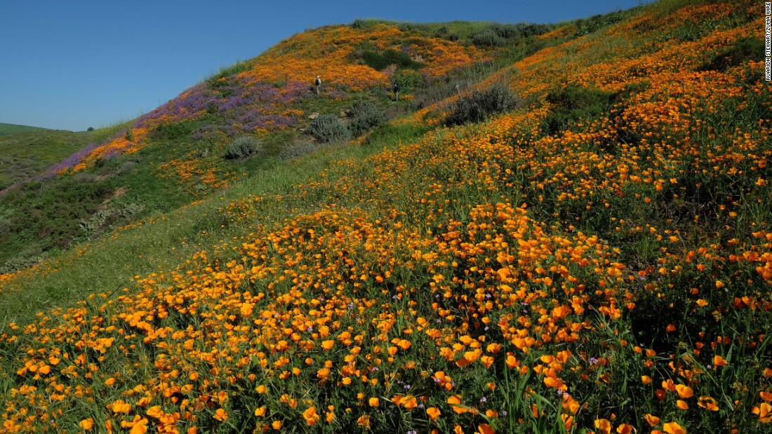 Orange poppies bloom in Chino Hills, California, on Sunday, March 12. The poppy is California's state flower.