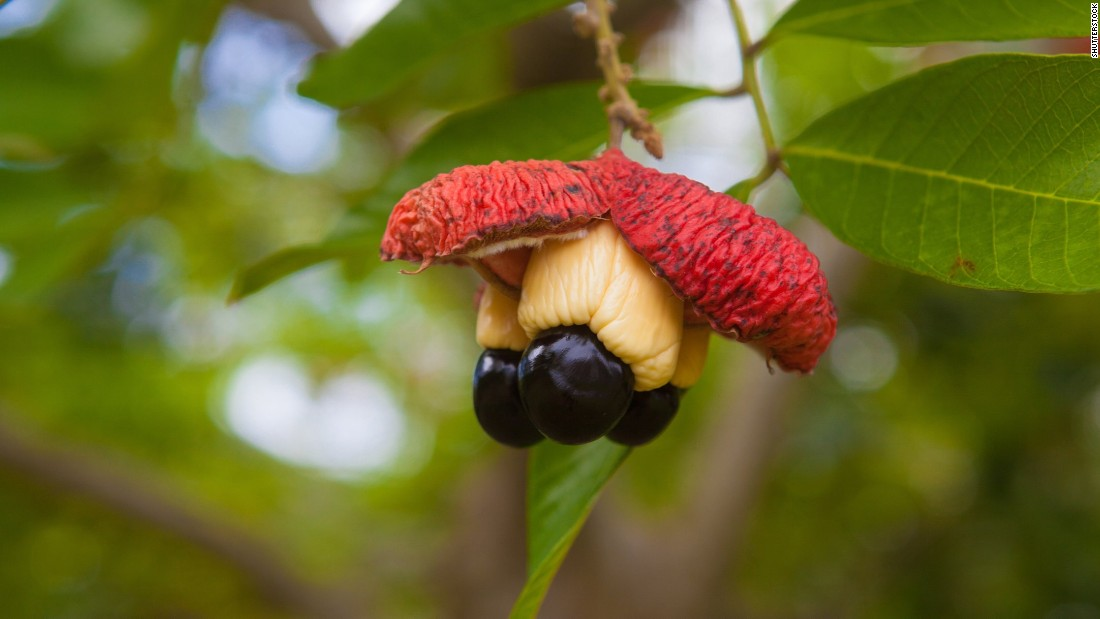 Ackee -- the national fruit of Jamaica -- contains the same poison as the lychee when unripe and can cause severe illness. It is usually cooked before eating.