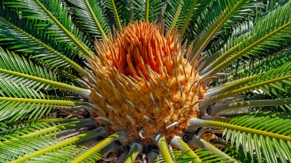 Two toxins in cycad plants such as the sago palm must be removed before any part of the plant can be safely eaten.