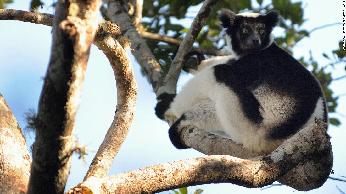 Indri Indri - the largest known lemur - sits on a tree in  Andasibe, Madagascar. The endangered  species is found nowhere else, and conservationists believe it could be threatened by the encroachment of sapphire mines in its territory.