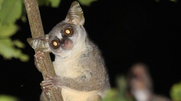The dwarf galago also has a distinctive appearance with a longer face than the other galagos, which the team identified using a photo library of all known primate species.