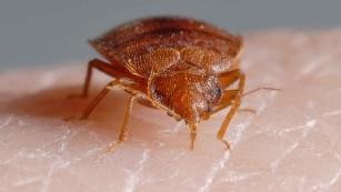 Bedbugs hung out with dinosaurs but didn't bite them, study finds