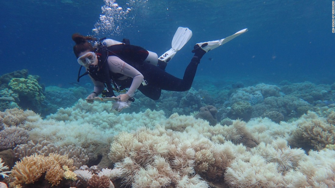 "Rising temperatures: Man-made greenhouse gas emissions are making oceans warmer. <br />In hotter water, corals lose their algae coverings and turn white or ""bleached"". Bleached coral are not yet dead -- but without their algae they eventually starve."