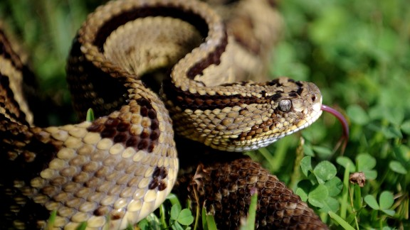"""Rattlesnake is also eaten in the American West and in parts of South America. In the US, it's rarely sold commercially but is often available <a href=""""http://www.cnn.com/2014/04/09/opinion/townsend-rattlesnake-roundup/"""">after large snake roundups</a>. Low in fat and calories, it can be barbecued or served in chili."""